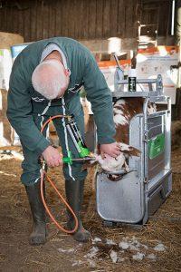Ecornage bovin avec l'écorneur à gaz Daos 114/1